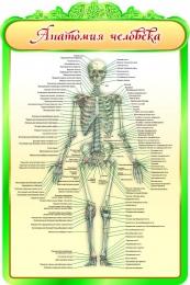 Купить Стенд Анатомия человека в кабинет биологии 600*900мм в Беларуси от 65.00 BYN