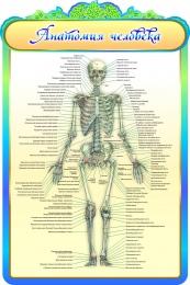 Купить Стенд Анатомия человека в золотисто-бирюзовых тонах 600*900мм в Беларуси от 65.00 BYN