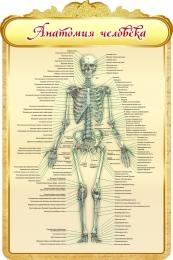 Купить Стенд Анатомия человека в золотистых тонах 600*900мм в Беларуси от 62.00 BYN