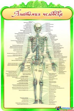 Стенд Анатомия человека в кабинет биологии 600*900мм