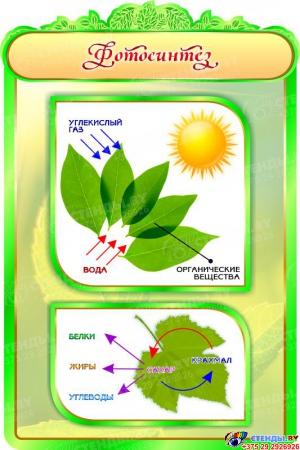 Стенд Фотосинтез в кабинет биологии 600*900мм