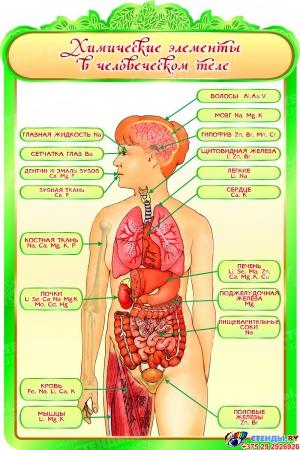 Стенд Химические элементы в человеческом теле для кабинета Биологии 600*900мм